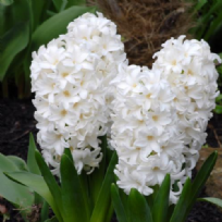 Hyacinth Fairy White
